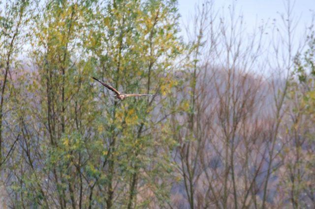 Male Marsh Harrier