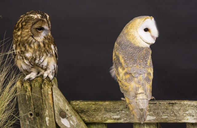 Tawny and Barn Owl - ISO 1000 F5 1/40sec 70-300mm lens at 81mm