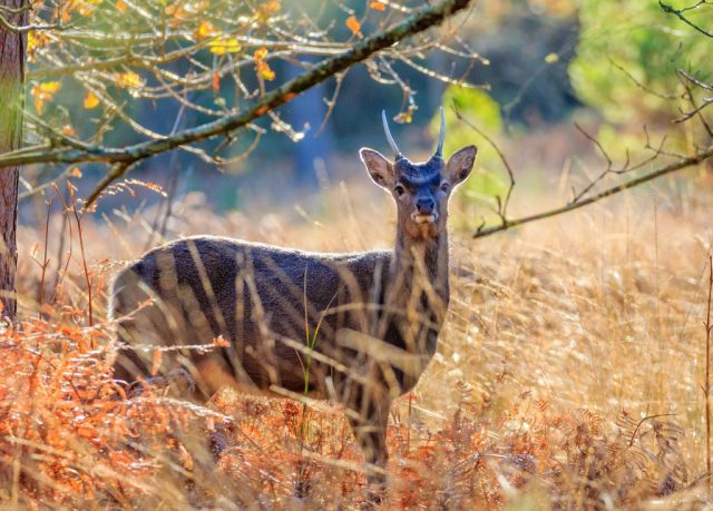 Young Sika stag