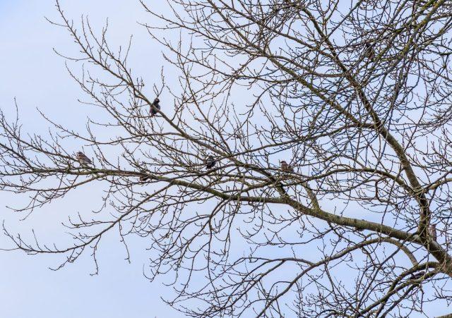Fieldfares in tree