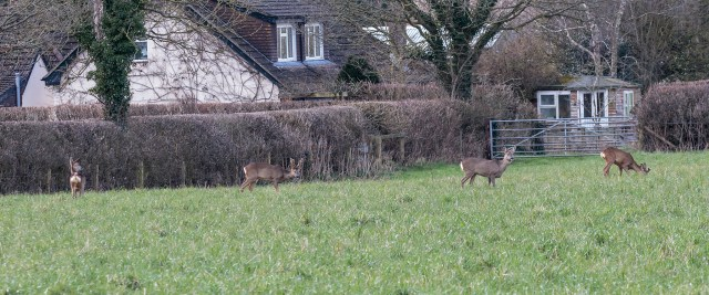 Four Roe Deer, two Does and two Bucks.