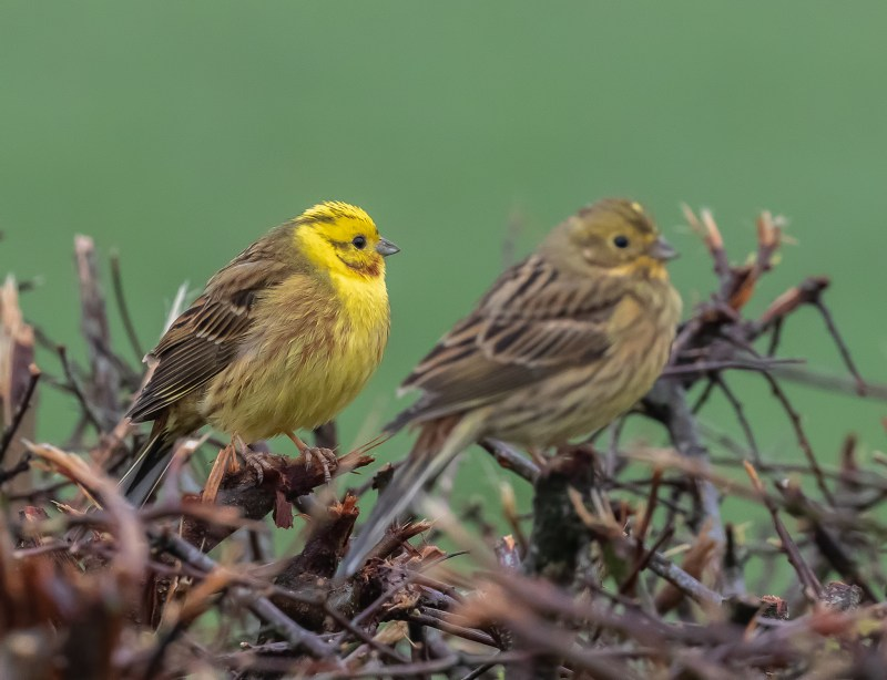Yellowhammer pair