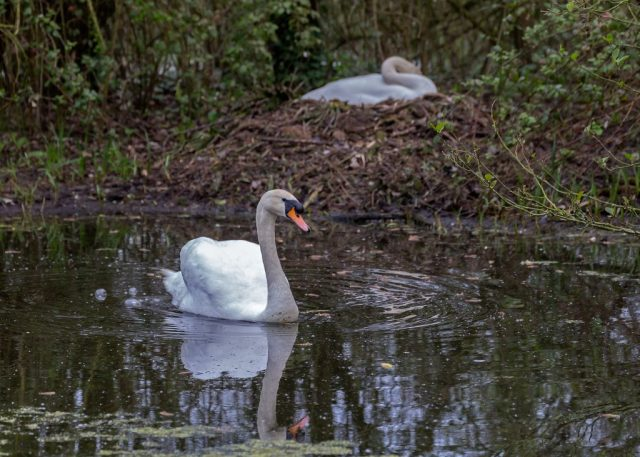 Male swan watching out for his mate and nest
