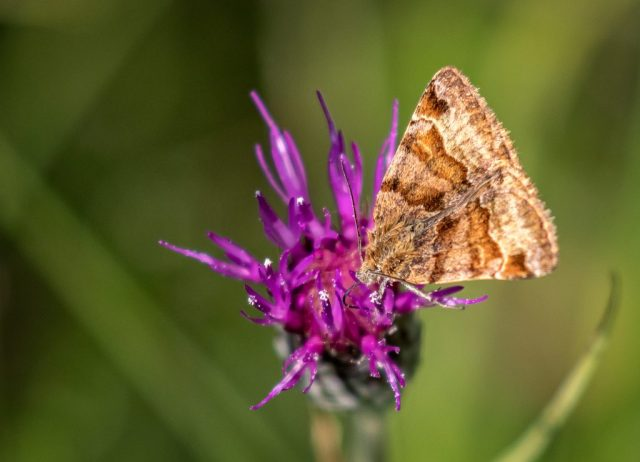 Burnet Companion Moth