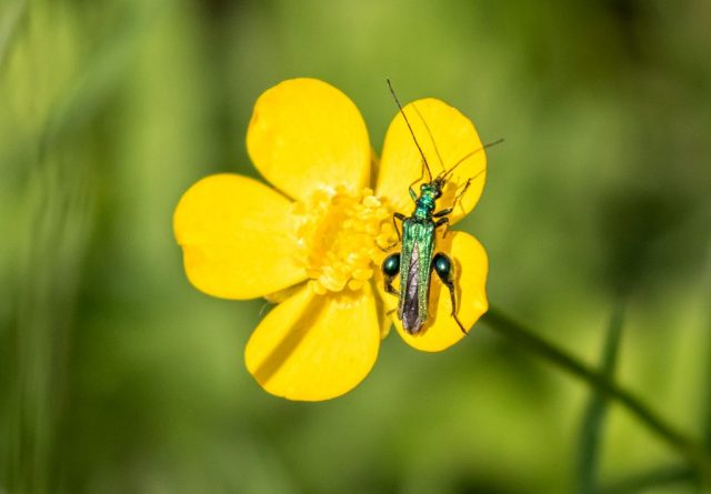 Swollen-thighed Beetle - Oedemera nobilis