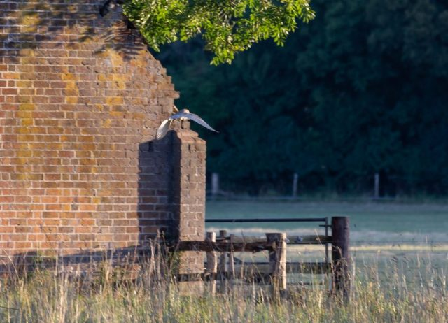 Disappearing Barn Owl