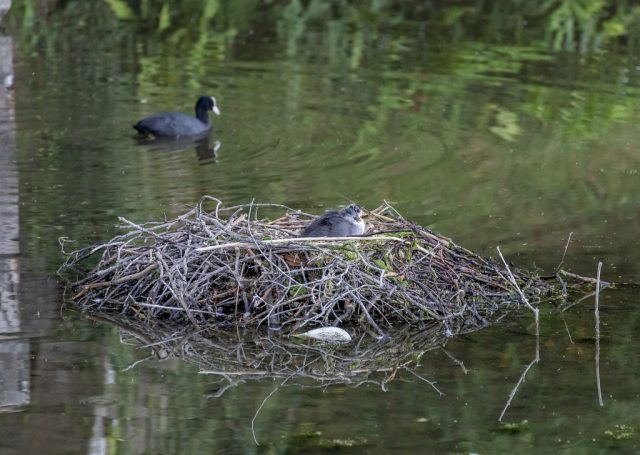 Young Coot on nest