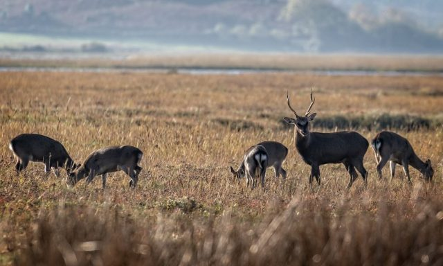 Sika Stag and hinds on the marsh