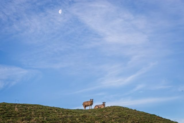 Sheep on Hambledon Hill
