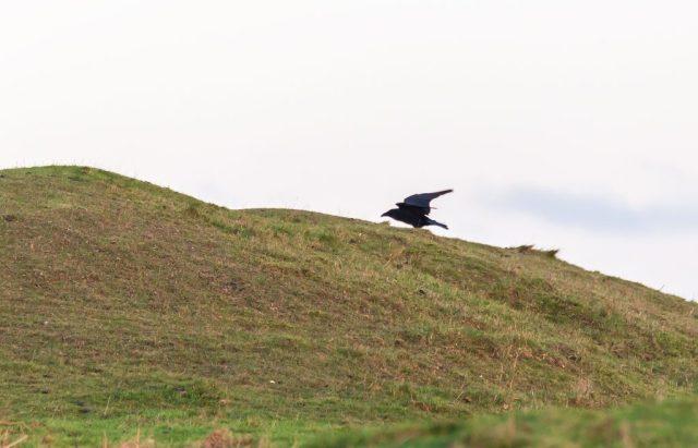Raven on Hambledon Hill
