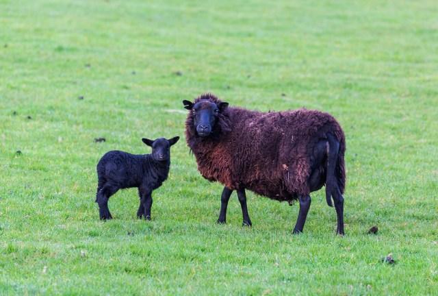 Black Welsh Mountain sheep