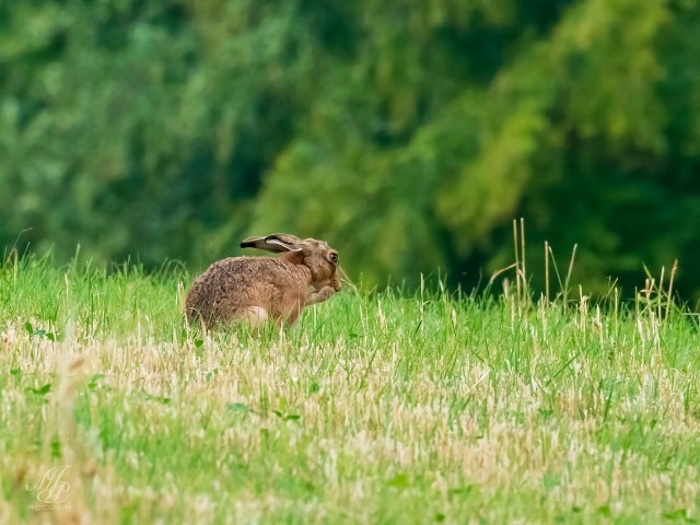 Hare Grooming