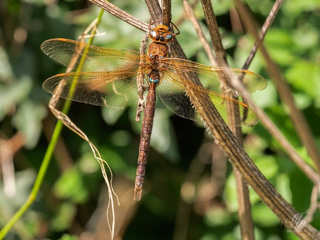 Brown Hawker Dragonfly male