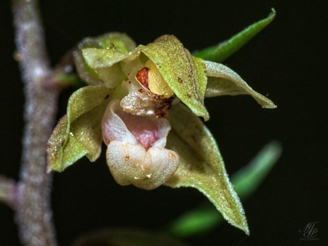 Violet Helleborine flower