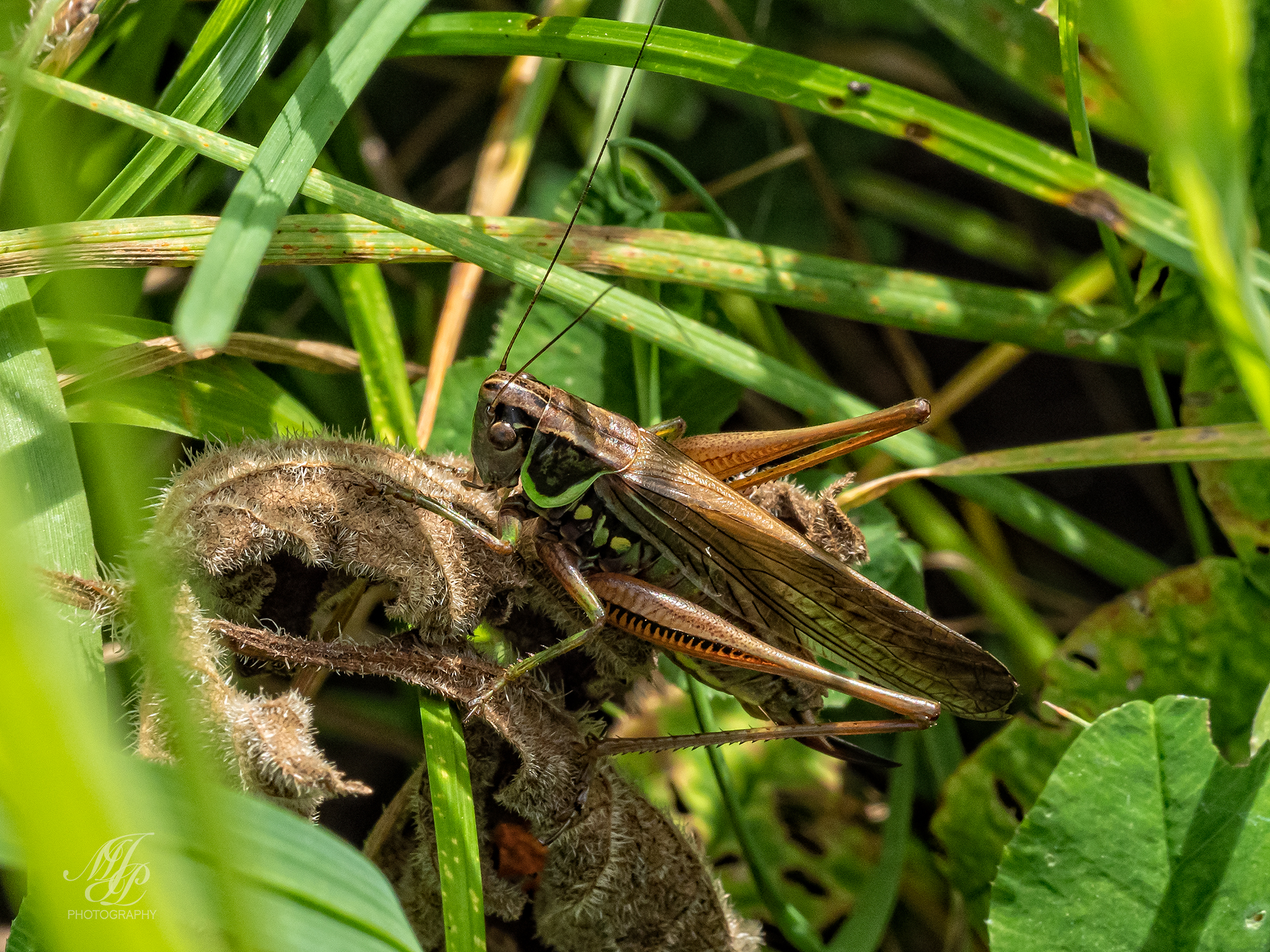 Grasshoppers and Cricket