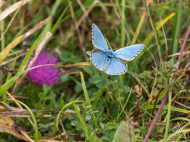 Adonis Blue - Fontmell Down