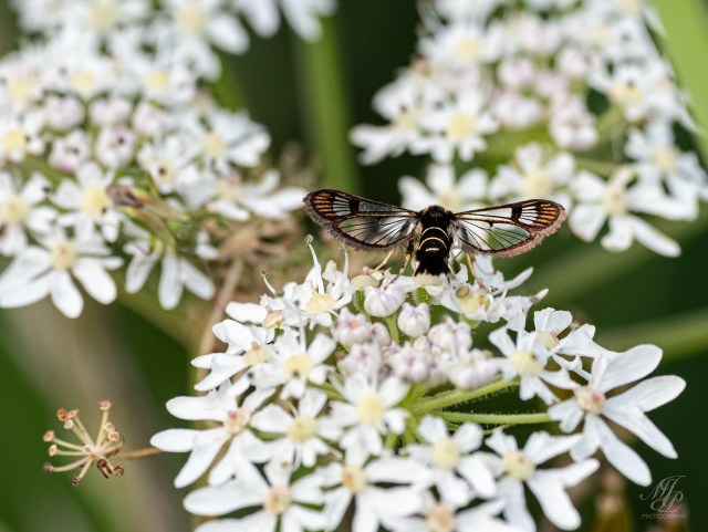Currant Clearwing moth