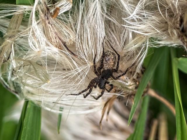 Wolf spider, Pardosa species (Lycosidae)