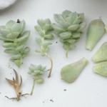 Cómo reproducir suculentas con la hoja