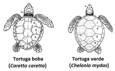 tortugues1