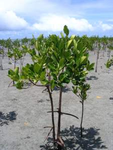 Cultivated mangrove seedlings