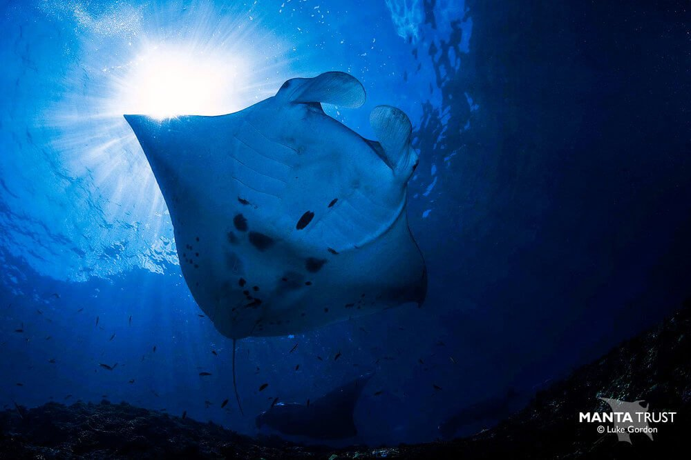 Mantas in Fiji by Luke Gordon