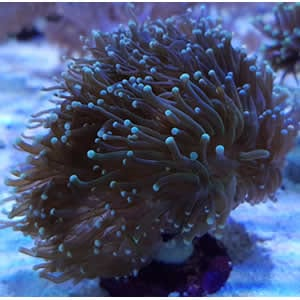 Australian Euphyllia Glabrescens Torch Coral Frag available at Marine Fish Shop