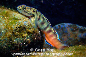 Bicolored Streamgoby Lentipes Concolor O Opu Alamo O