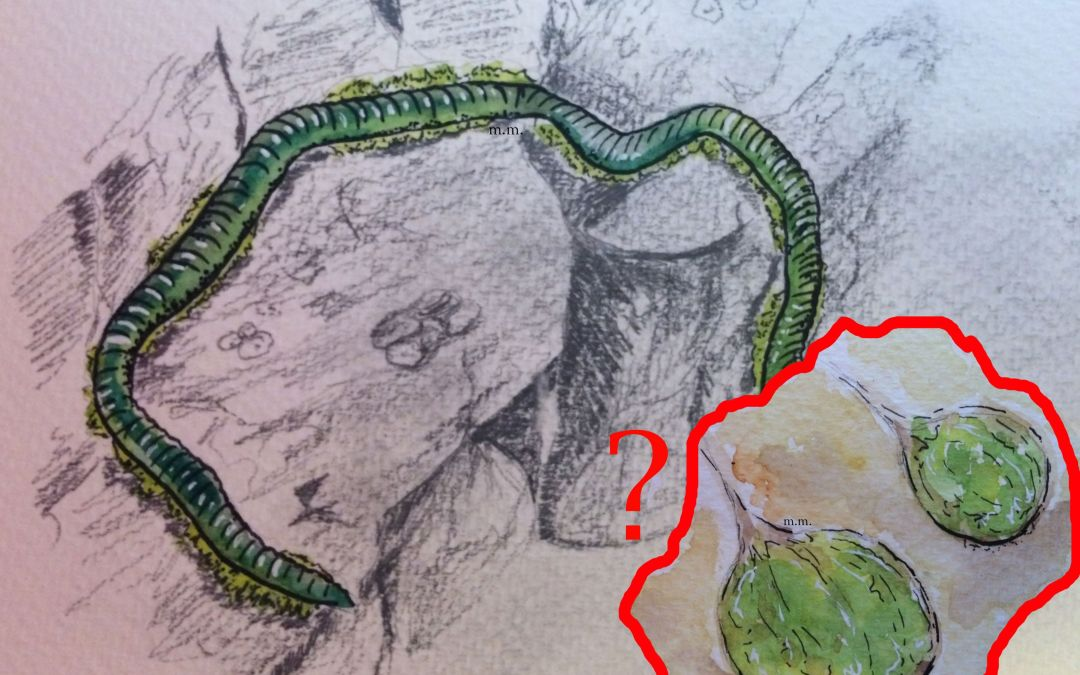 Mystery Eggs? (Eulalia viridis – Green Leaf Worm)