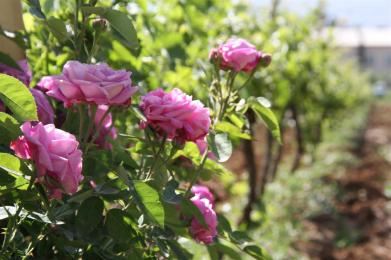 photo of some pink roses in the vineyards of Massaya