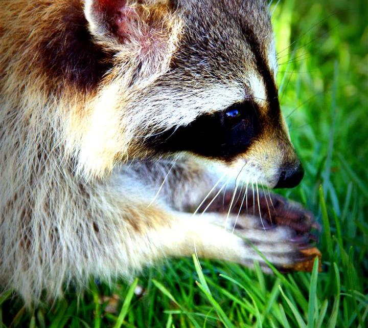 Racoon in Montreal