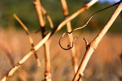 photo d'une vrille sur un sarment de vigne