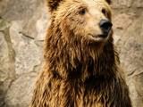 ours de face