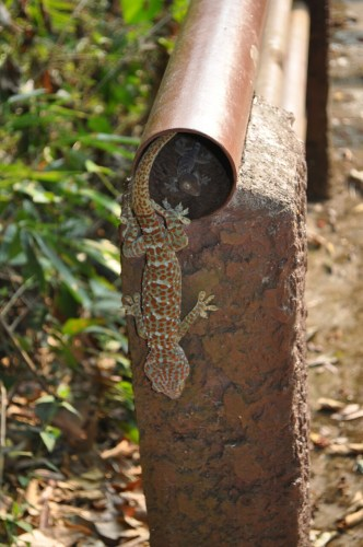 Khao Yai gecko