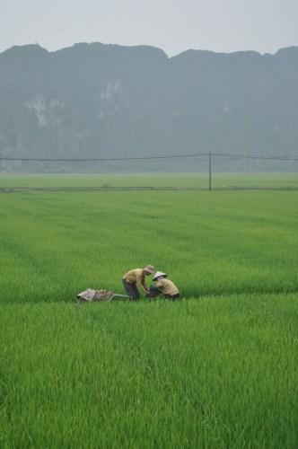 rizières Tam Coc 3