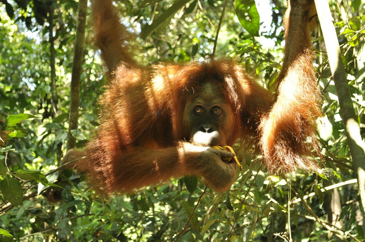 Notre rencontre avec les orang-outans de Bukit Lawang