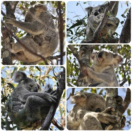 Koalas Magnetic Island 0801