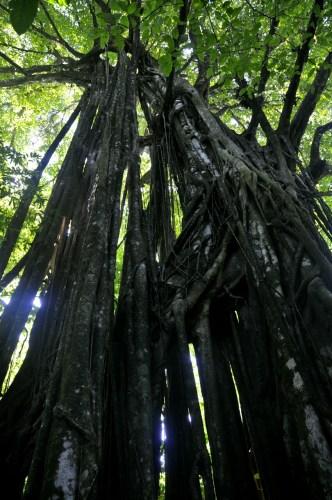 Corcovado_arbres