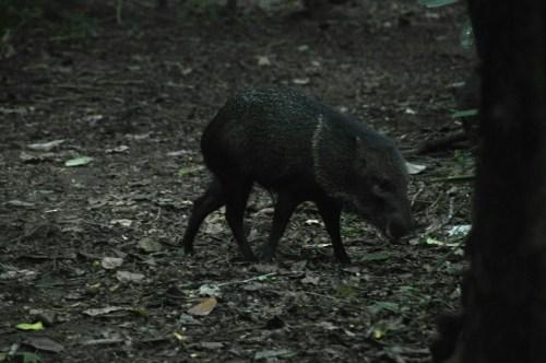 Corcovado_cochon-sauvage