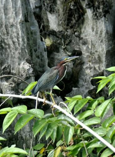 Oiseau Lac de Yojoa 1