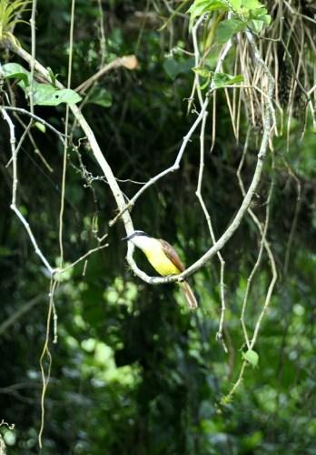 Oiseau Lac de Yojoa 6