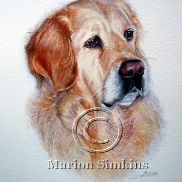Watercolour head & shoulders painting of a Golden Retriever gazing into the distance