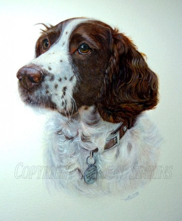 Watercolour pet portrait painting of an English Springer Spaniel. A head and shoulder portrait, looking to the left.