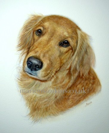'Bramble' the Golden Retriever is gazing over her left shoulder lovingly with big brown eyes at the viewer. Her colouring is more common in America being deep gold.