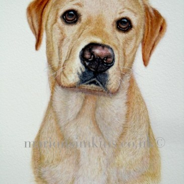 'Charlie' the Golden Labrador is a three quarter view looking directly at the viewer. Charlie has big brown eyes and a black nose with large patches of pink.