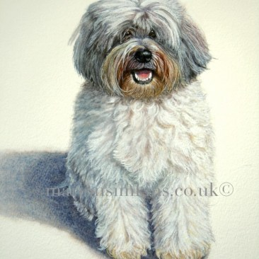 'Harry' the Tibetan Terrier is a full body original watercolour dog pet portrait. Harry is sitting in the sunlight gazing directly ahead with his mouth open in anticipation.