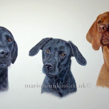 'Inca, Beanie & Lily' is a pet portrait watercolour of three dogs- two black Labradors and one Hungarian Vizsla