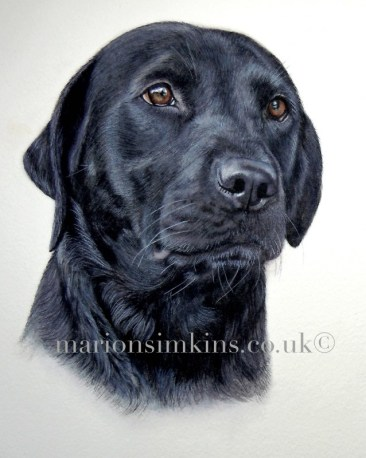 'Inca' the Black Labrador head & shoulder original watercolour dog pet portrait. Inca is looking to the right of the viewer, with shiny brown eyes and a humid nose. You can just see her white whiskers