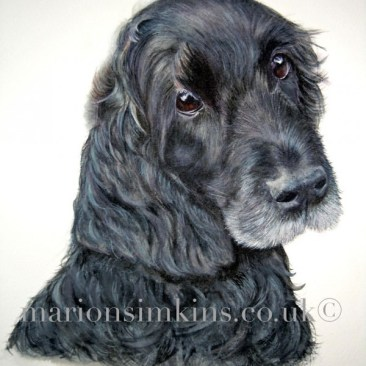 'Inca' the Black Spaniel is an original dog pet portrait watercolour. Inca looking with big brown eyes over her shoulder intently at the viewer