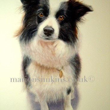 'Jess' the Border Collie is a full body dog pet portrait watercolour. Jess is sitting looking directly at the viewer with beautiful amber-brown eyes. She look's as though she is waiting for her ball to be thrown.